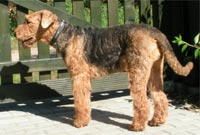 Airedale-Terrier, Waterside-Terrier